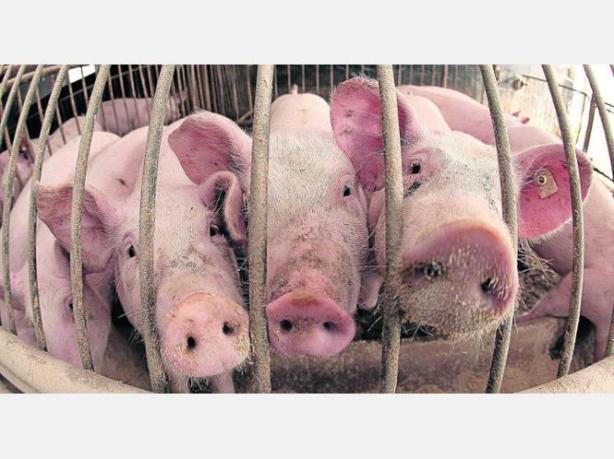 459362758-massenhafter-einsatz-antibiotika-duerfen-kranken-tieren-angewendet-werden-studien-weisen-jetzt-nach--iq34